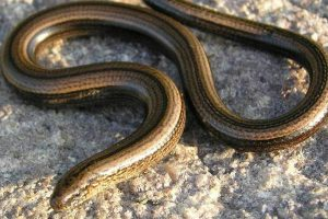 embed-slow-worm
